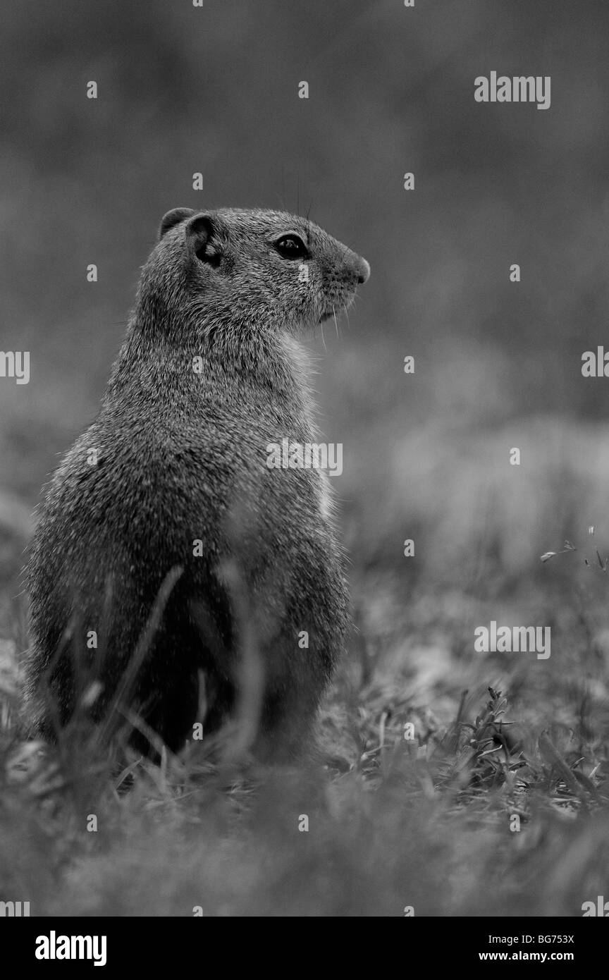 Columbian Ground Squirrel (Spermophilus columbianus) in Glacier national park Stock Photo