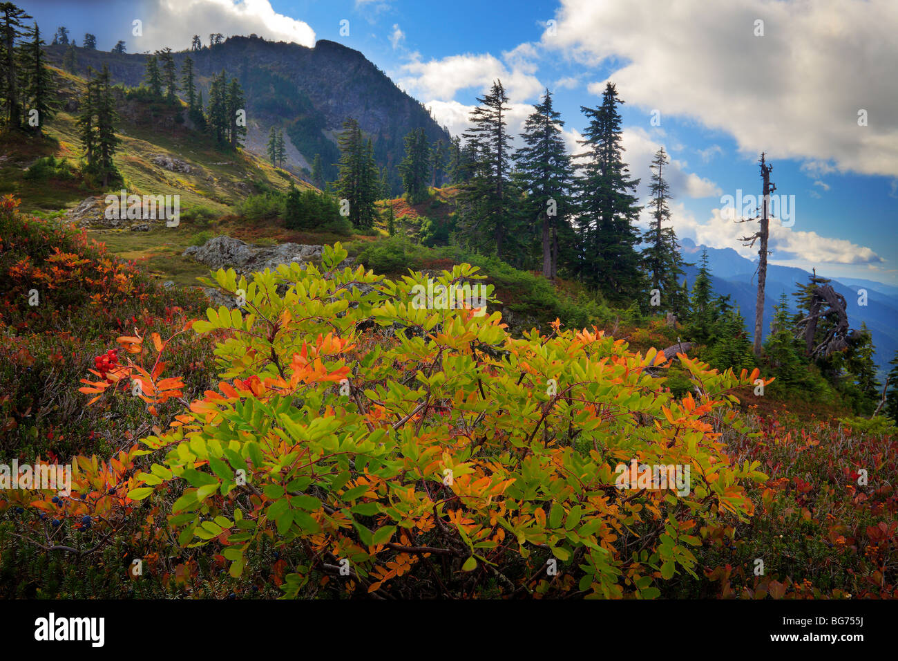 Mountain ash in early fall near Park Butte in the Mount Baker Wilderness - Stock Image