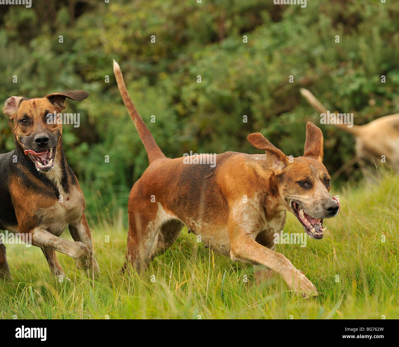 foxhounds in full cry - Stock Image