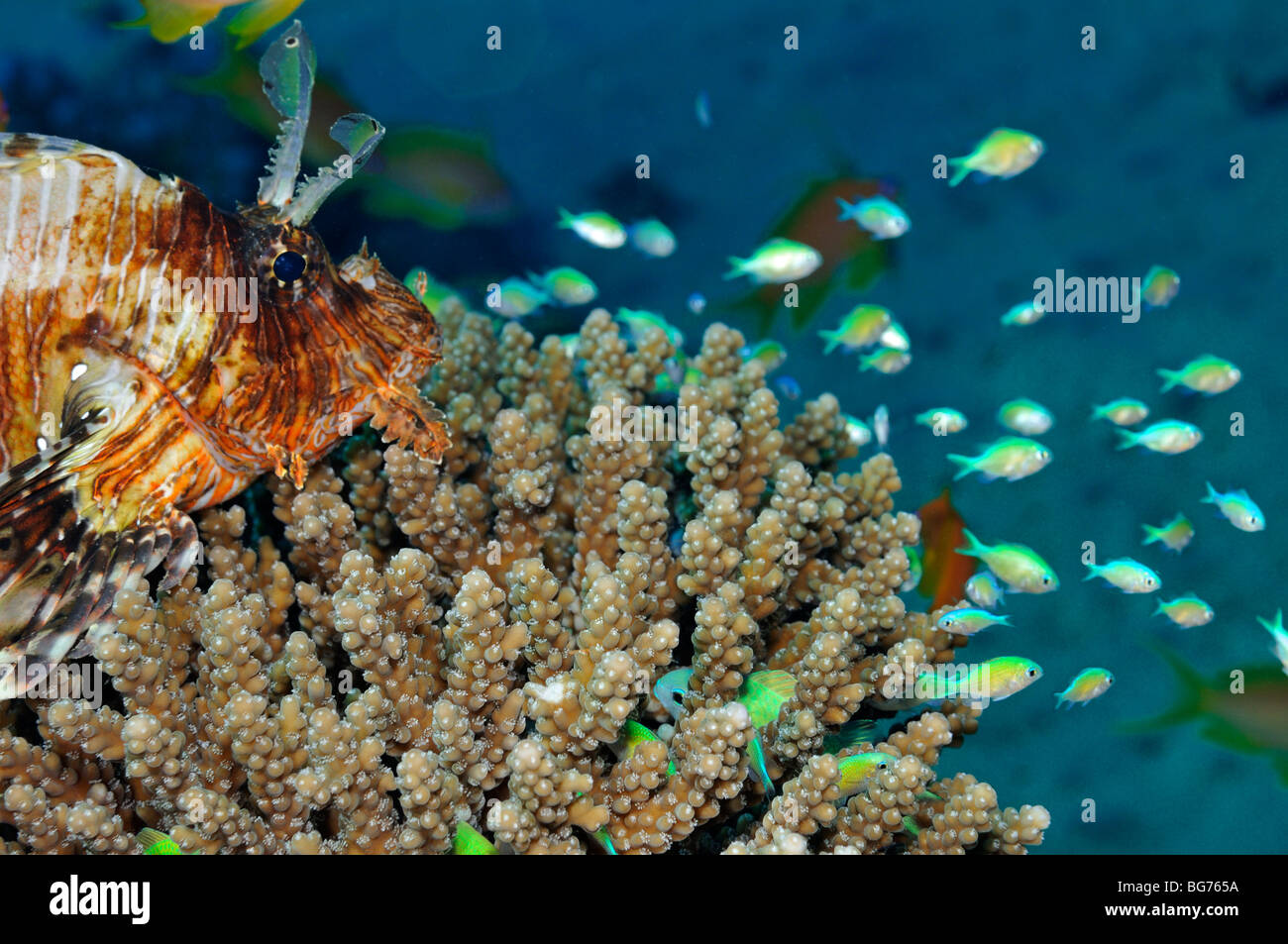 Lionfish on coral looking at future dinner of bluegreen chromis fish - Stock Image