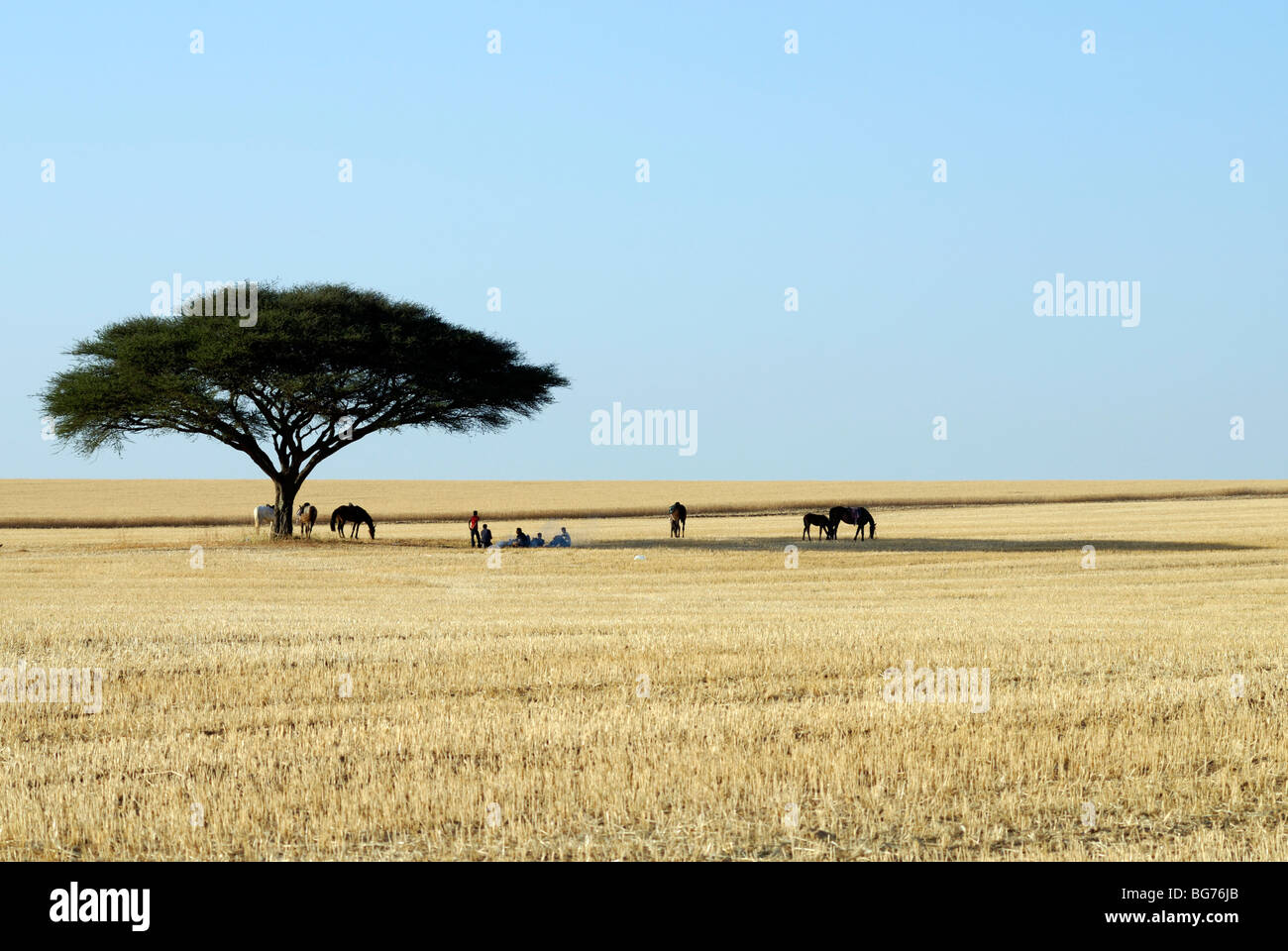 Israel, Negev, Horsemen at rest under a lone acacia tree in a wheat field - Stock Image