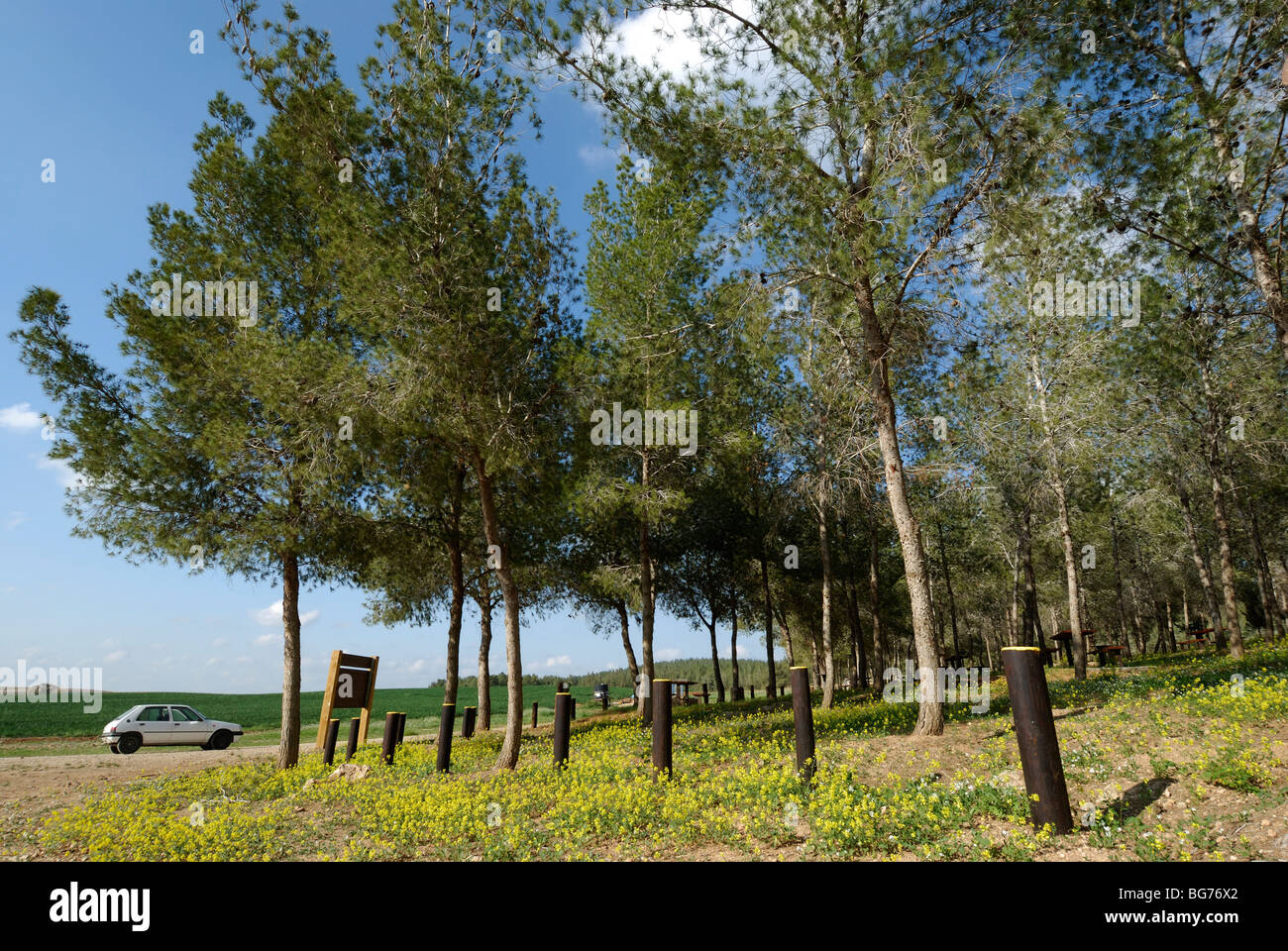 Israel, Negev, Pine tree forest planted by KKL - Stock Image