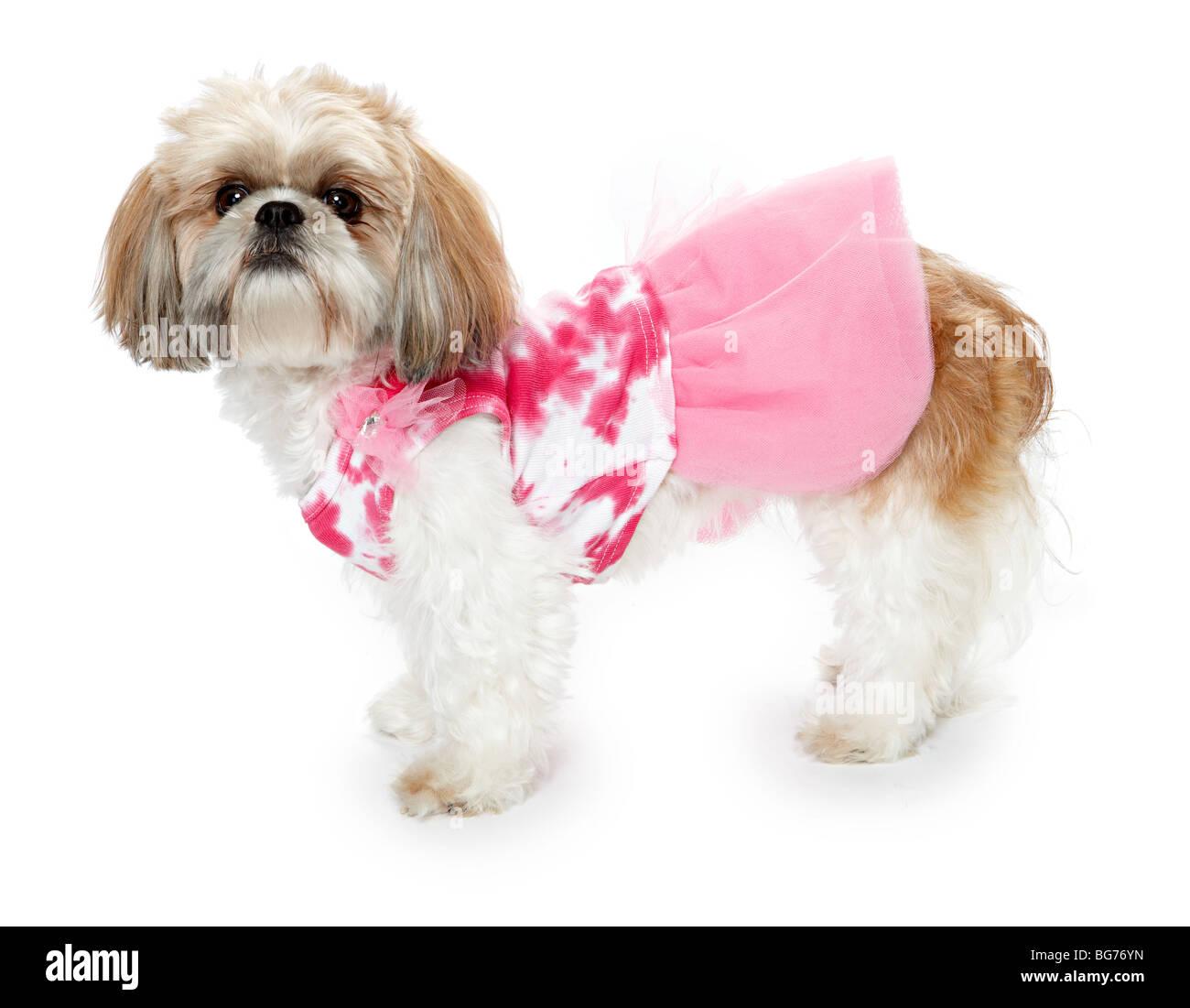 Shitsu Shih Tzu Dog In Pink Outfit Clothes Stock Photo Alamy
