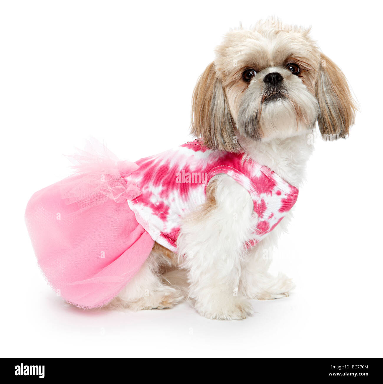 Shitsu Shih tzu dog in Pink outfit clothes - Stock Image