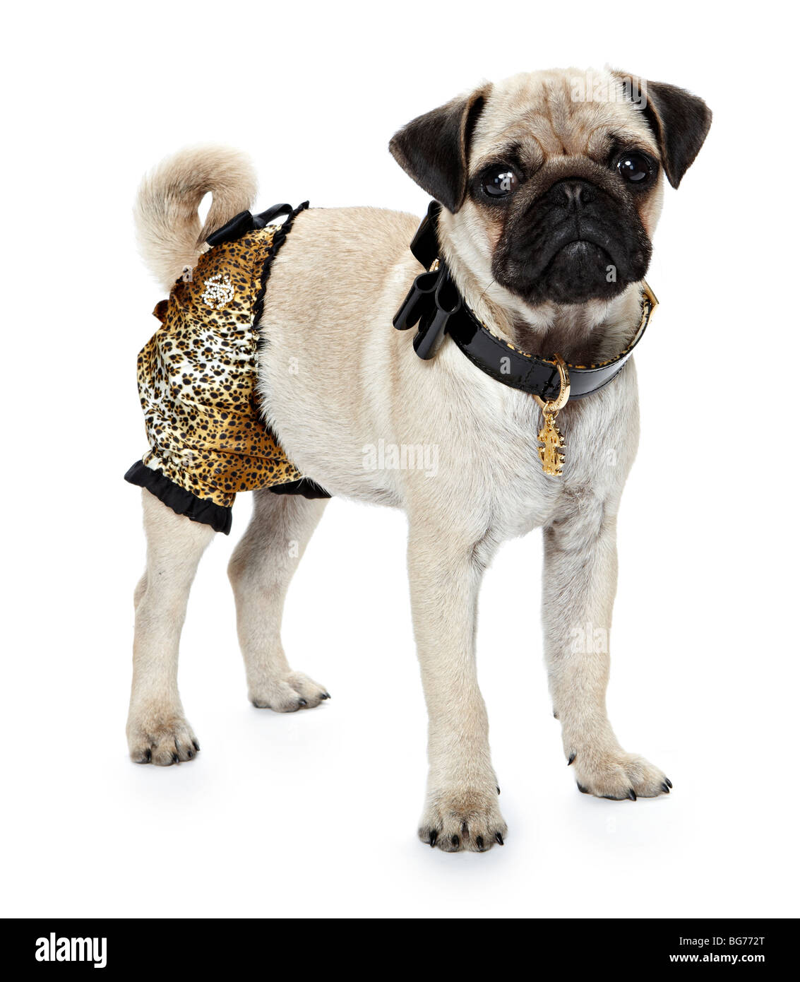 Pug dog dressed up - Stock Image
