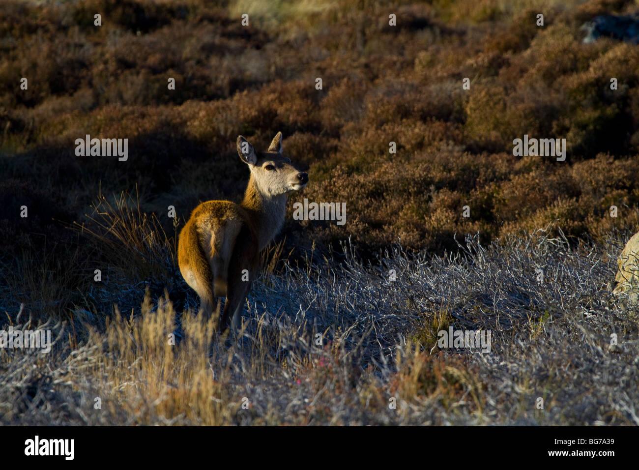 Red deer, Cervus elaphus, hind on Scottish moor, Grampian mountain range, Aberdeenshire. - Stock Image