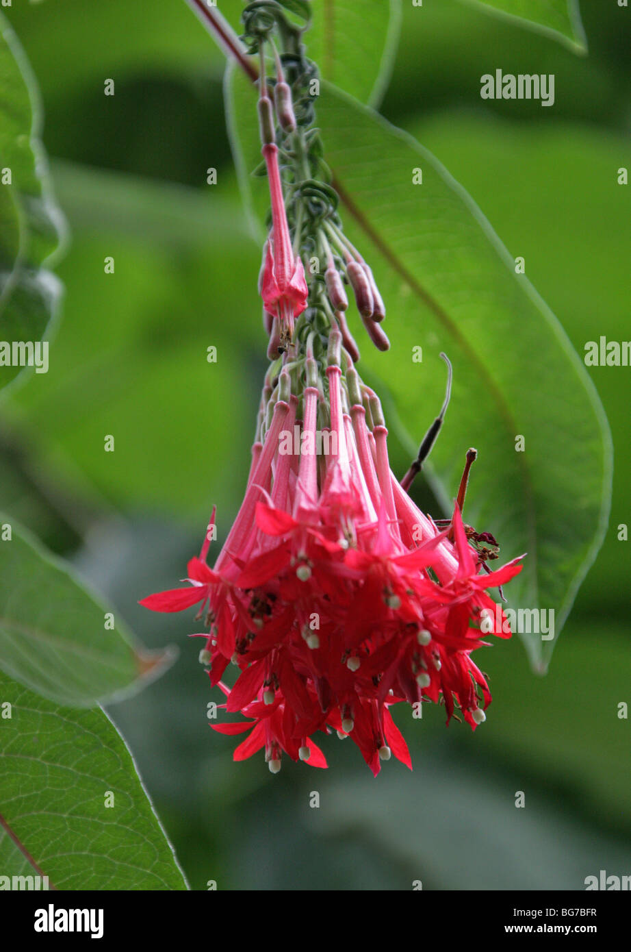 Bolivian Fuchsia, Fuchsia boliviana, Onagraceae, Peru, Bolivia and Northern Argentina - Stock Image