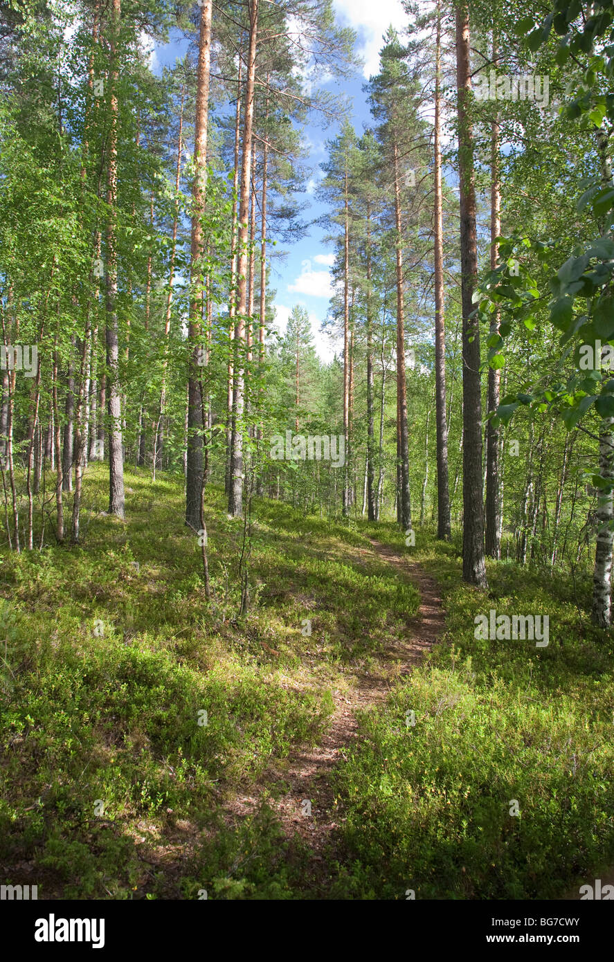 Path in the Finnish pine ( pinus sylvestris ) forest , Finland - Stock Image