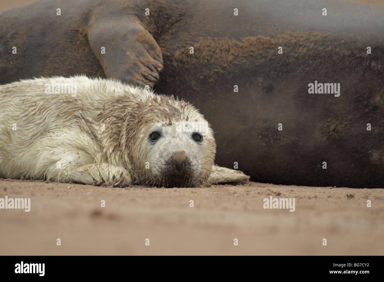 atlantic grey seal halichoerus grypus Stock Photo