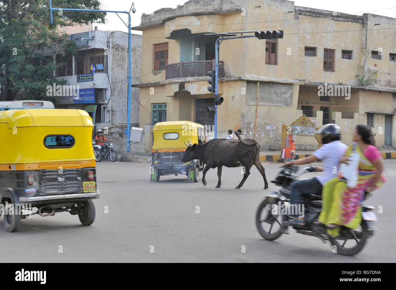 Traffic negotiating it's way around a cow roaming in the street - Stock Image