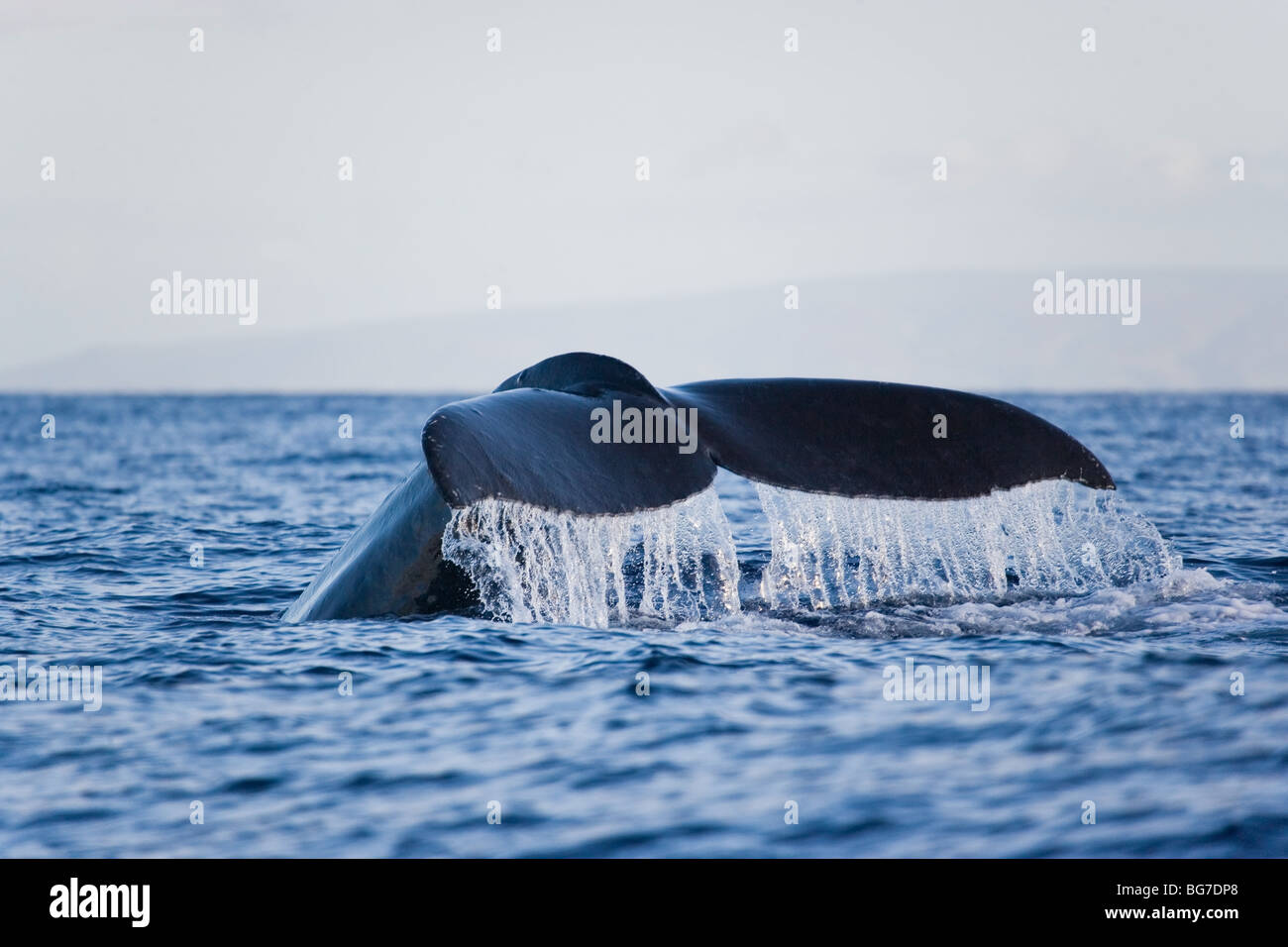 humpback whale tail flukes up hawaii - Stock Image