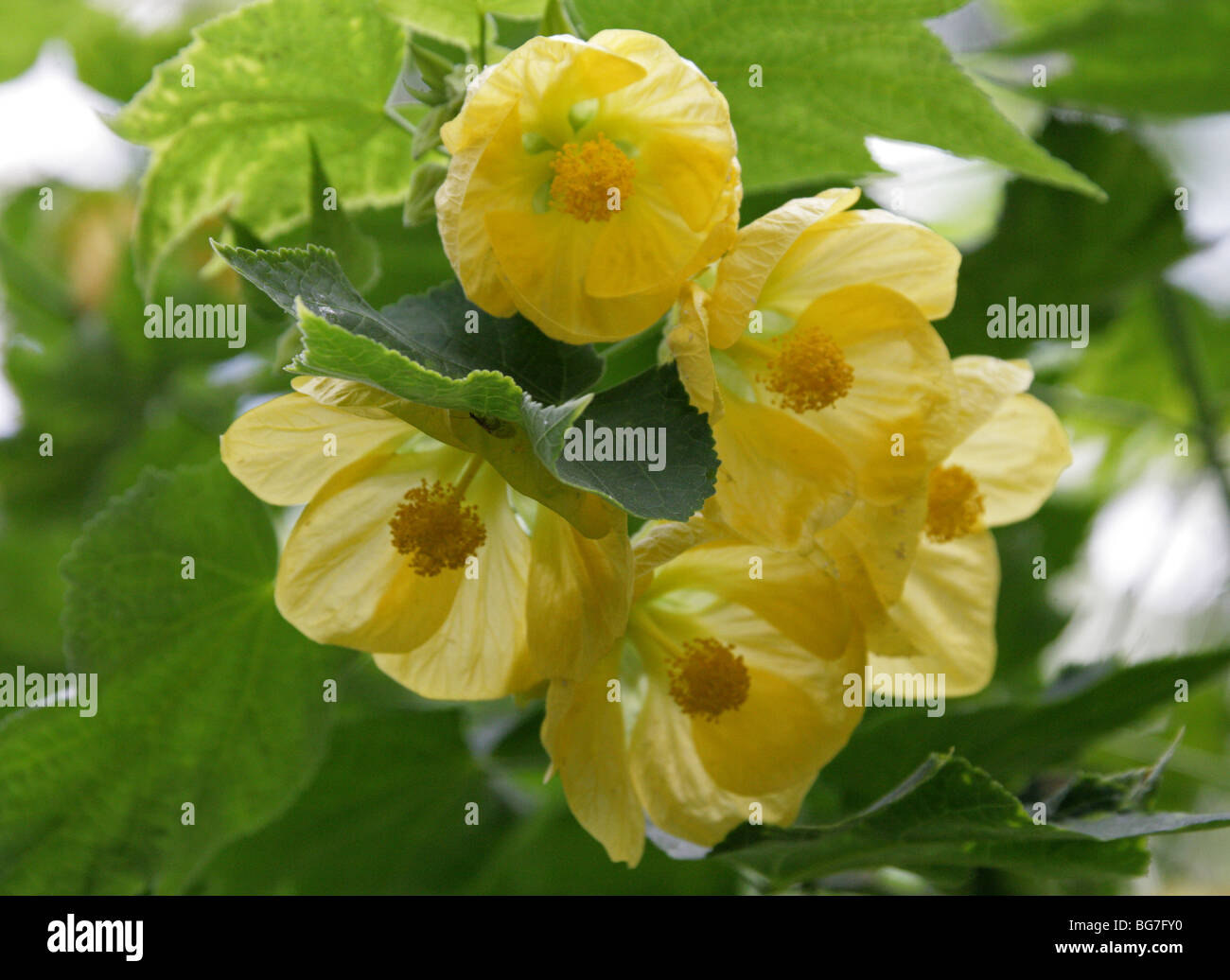 Abutilon, Flowering Maple, Chinese Bell Flower, Chinese Lantern, Abutilon 'Moonchimes', Malvaceae. - Stock Image