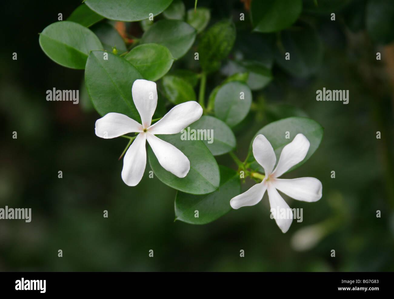 Flower of the Natal Plum or Large Num-Num, Carissa macrocarpa, Apocynaceae, South Africa. - Stock Image