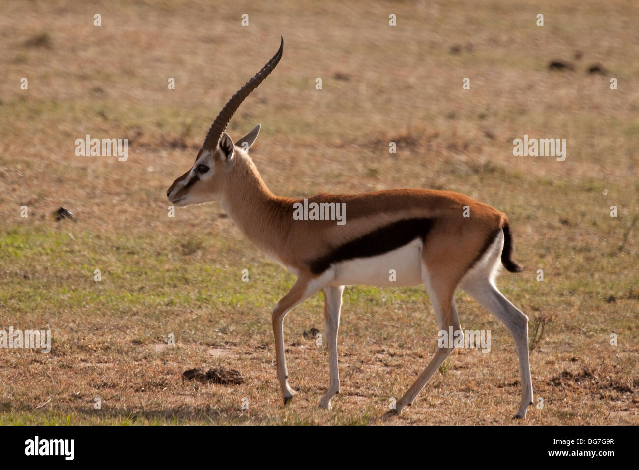 Walking young Thomson's gazelle in National park Masai ...