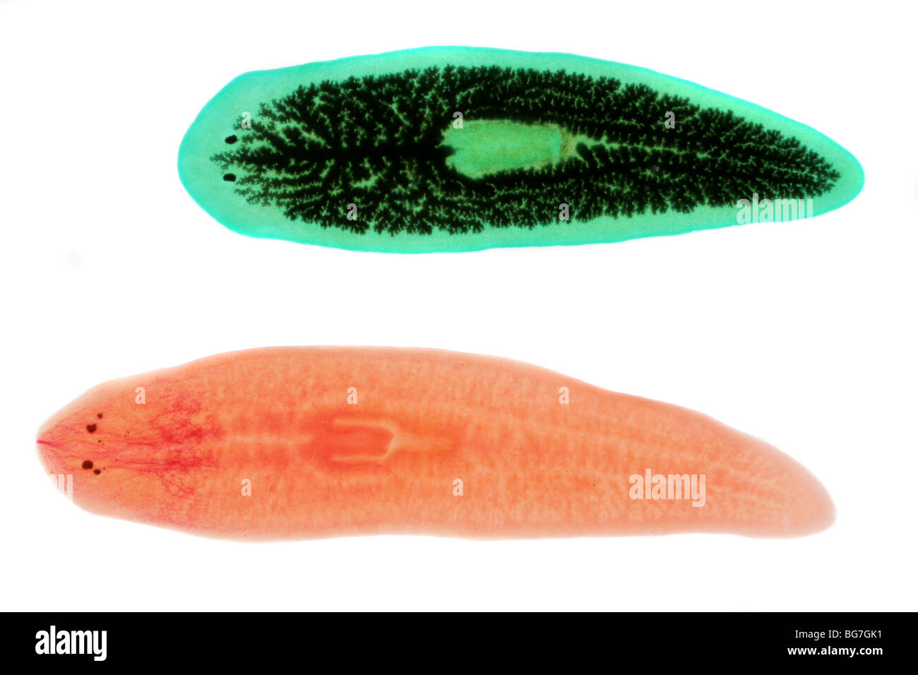 Flatworms, Dugesia (Planaria) species, one fed with carbon to reveal its digestive tract. - Stock Image