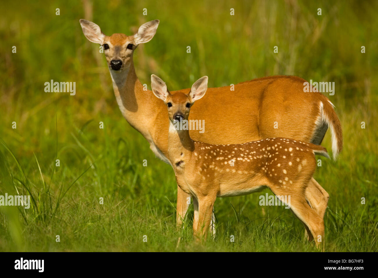 A white-tail deer and her fawn - Stock Image