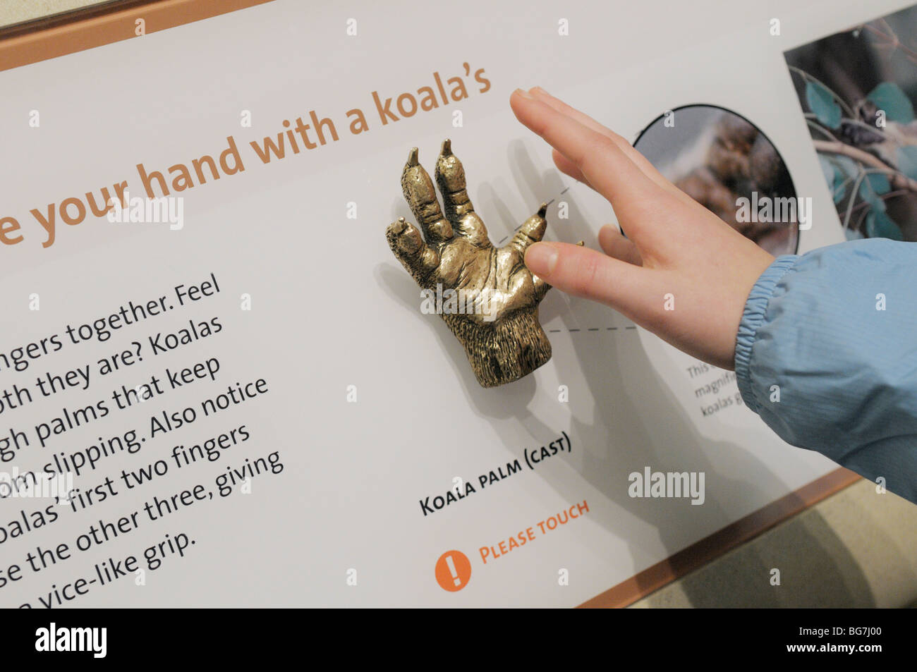 Girl, 10-11, reaches to touch a natural history museum display on mammal appendages (a koala hand) - Smithsonian - Stock Image