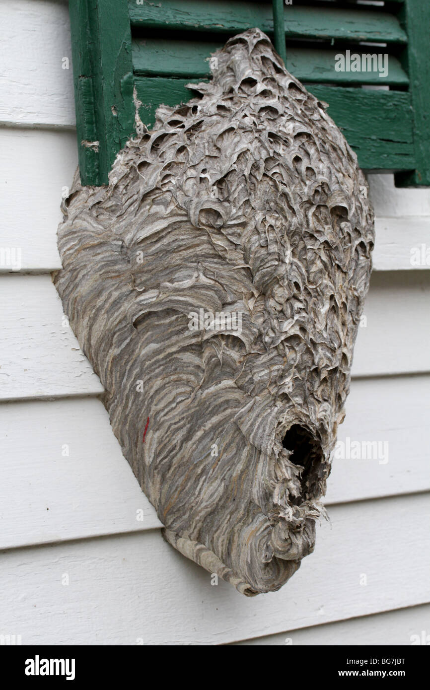 Bald-faced hornet nest (Dolichovespula maculata) built on the side of a house. - Stock Image
