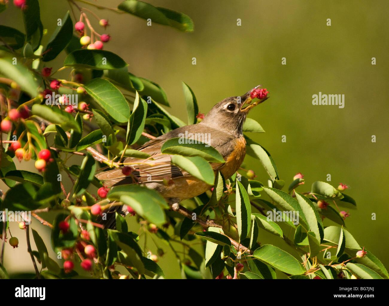 Idaho, Wildlife, Bird, Song Birds, Robin eating serviceberry. - Stock Image
