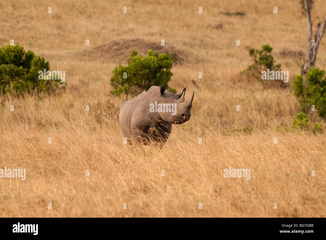 Single Horned Rhinoceros King