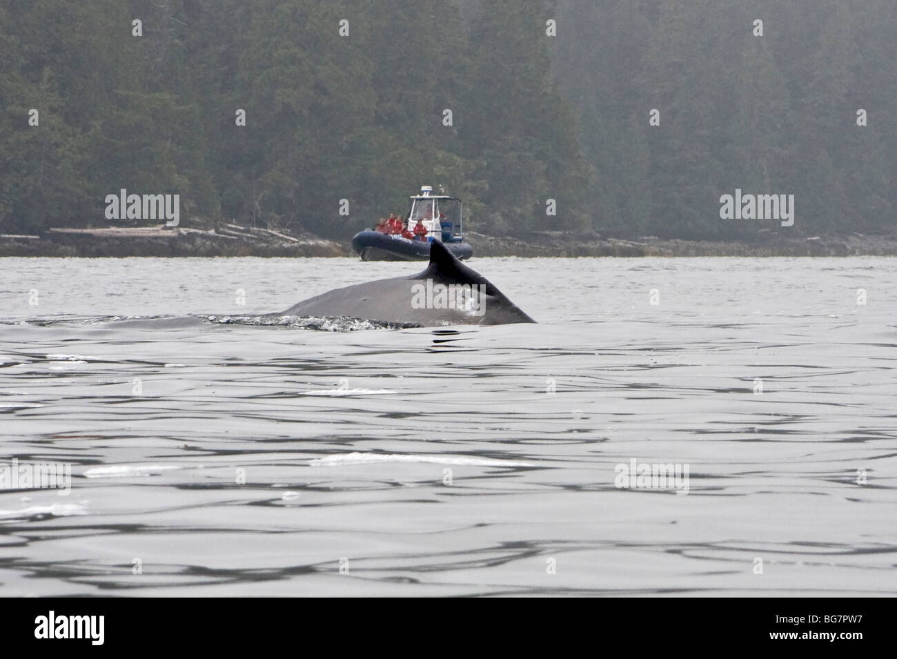 Whale watching boat approaches as humpback whale (Megaptera novaeangliae) surfaces off Vancouver Island, Canada Stock Photo