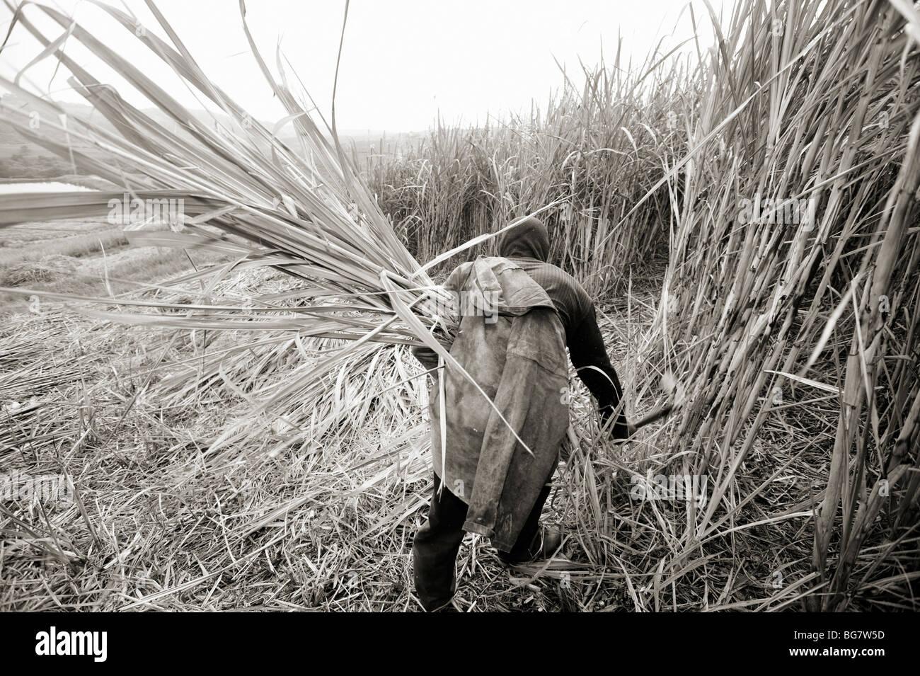 Sugar cane cutter. Sugar cane farm. South of Durban, South Africa - Stock Image