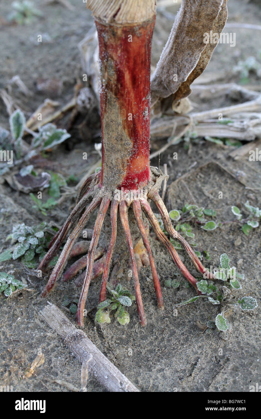 Adventitious roots at the base of a corn stalk. - Stock Image