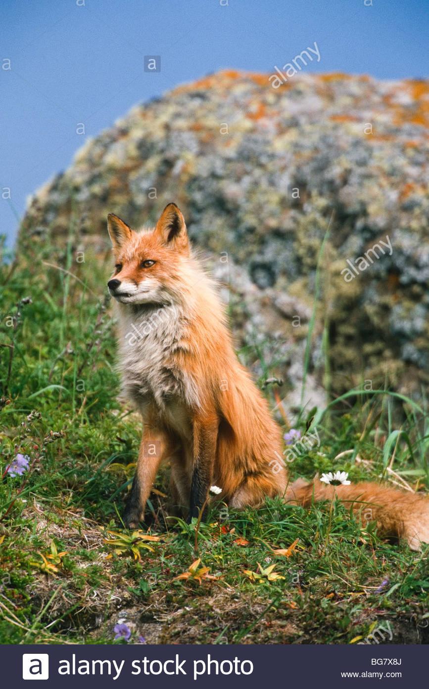 Alaska. Round Island Sanctuary, SW Alaska. Red Fox (Vulpes vulpes) - Stock Image