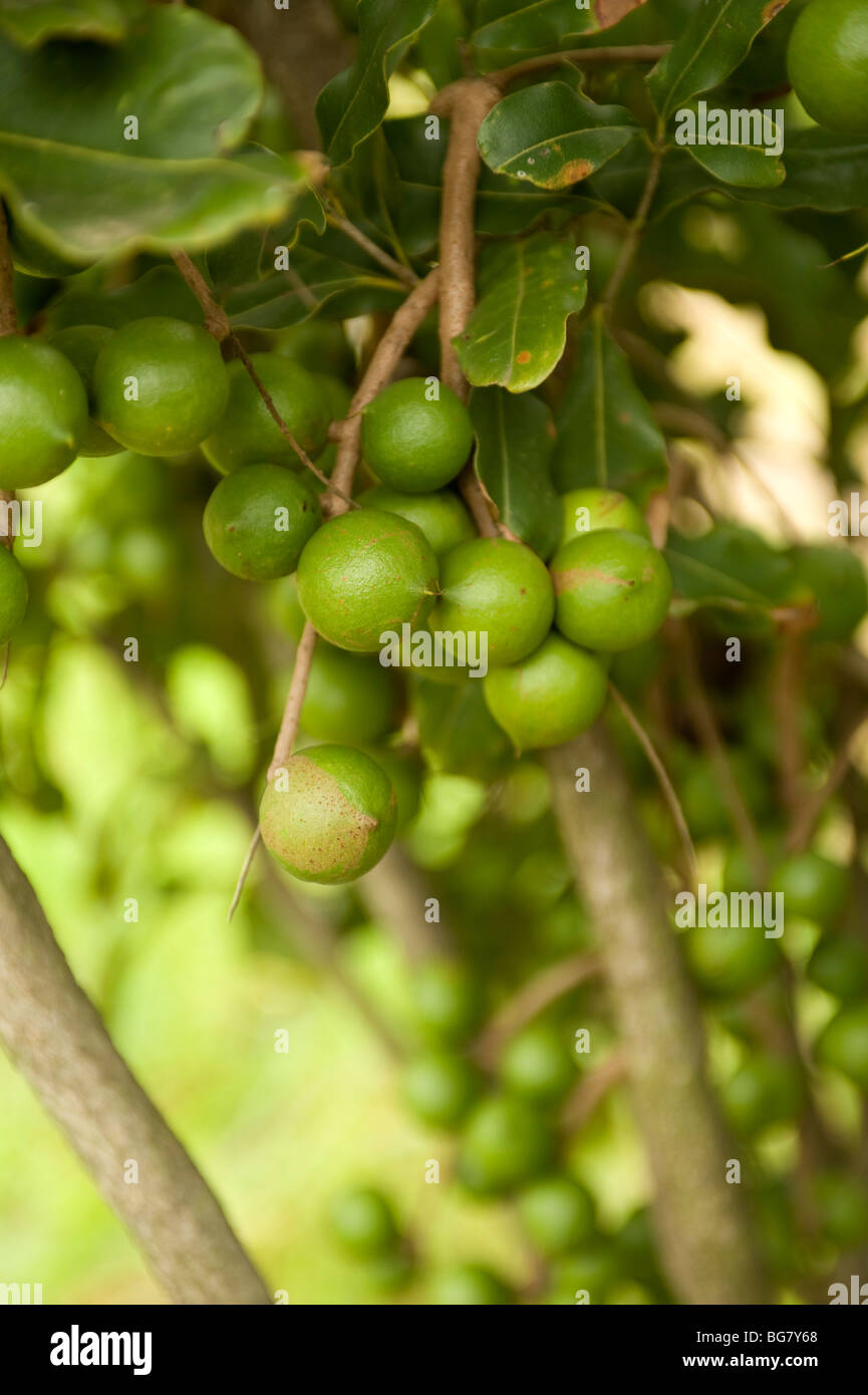 Macadamia nut trees. South of Durban, South Africa - Stock Image
