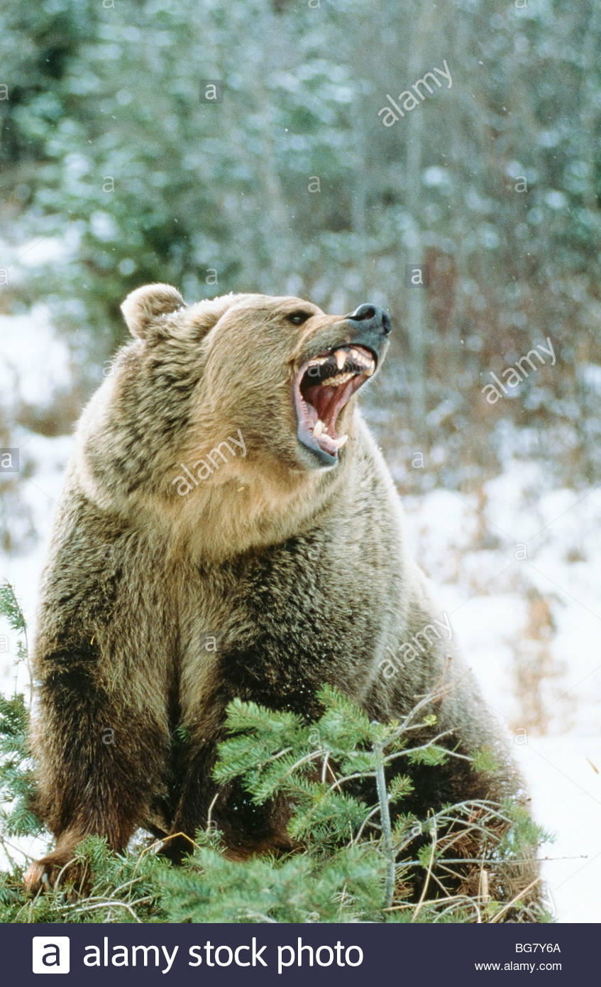 Grizzly Bear(Ursus horribilis), snarling on evergreen Mt. Captive - Stock Image