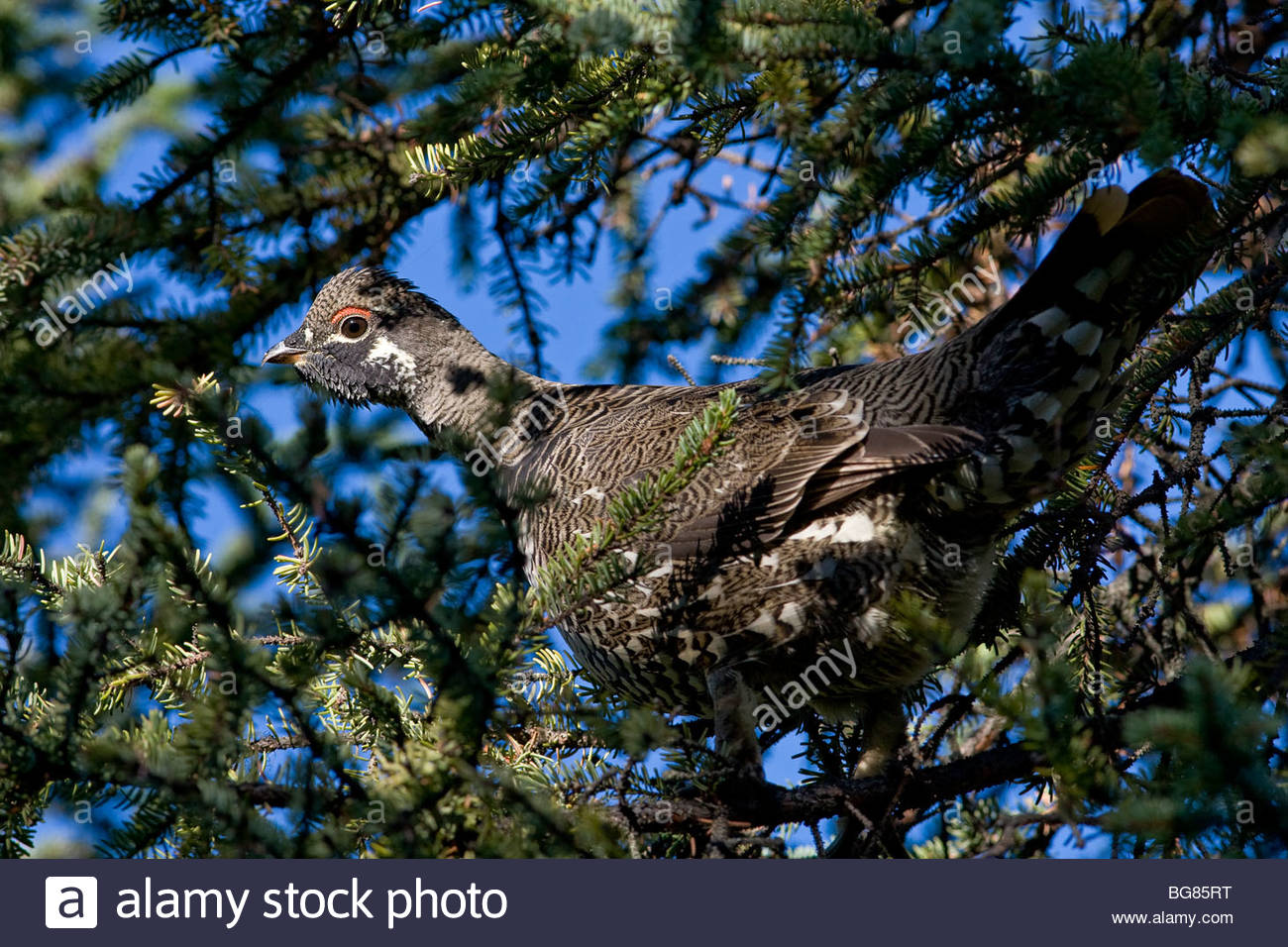 Male Spruce Grouse (Falcipennis canadensis) perched on spruce limb along on the Kenai Peninsula, Alaska in September. - Stock Image