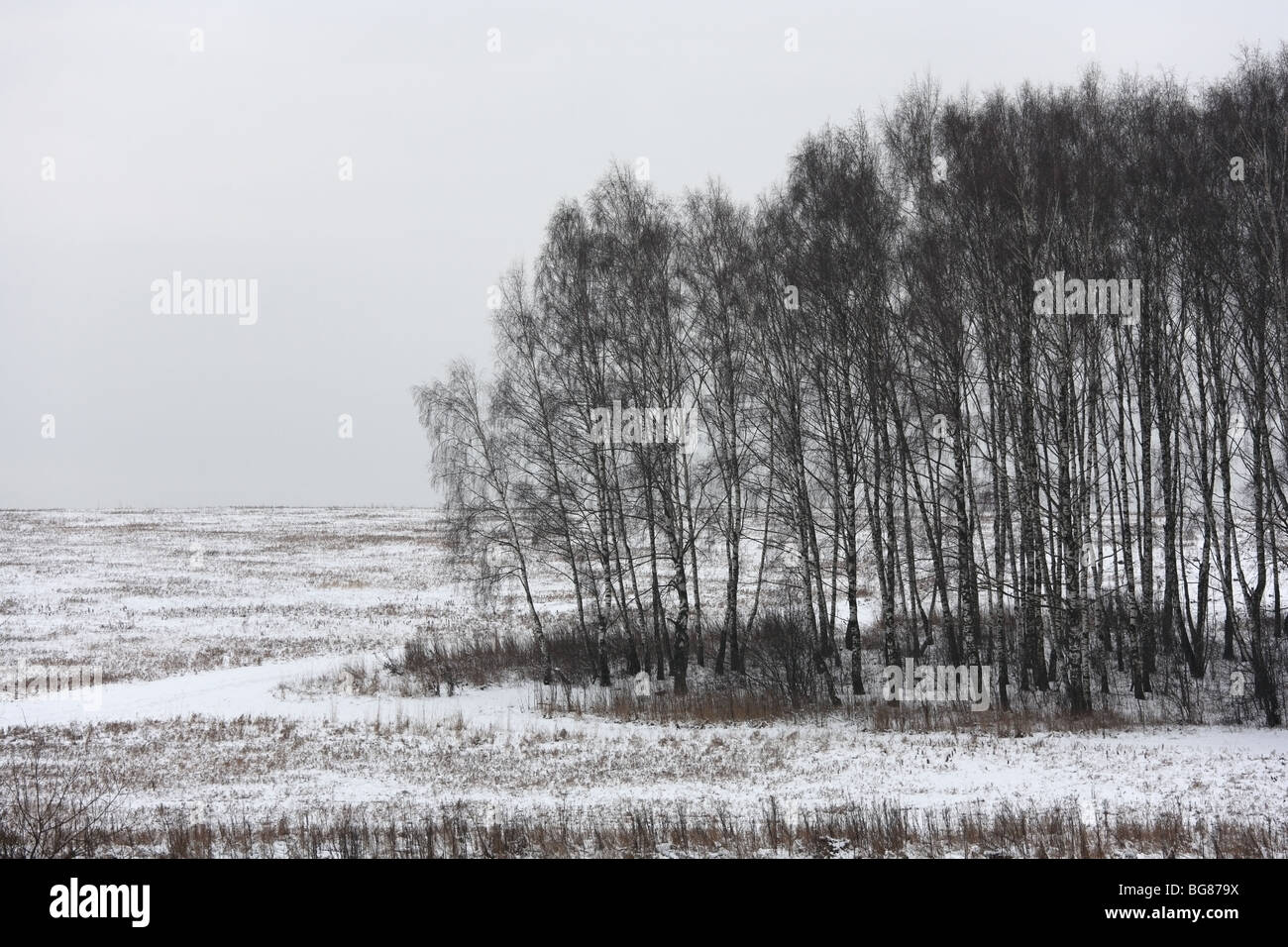Winter landscape with birch trees on an overcast day - Stock Image