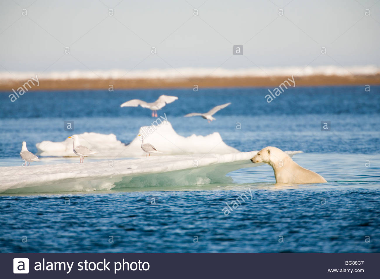 A polar bear climbs onto an iceberg in the Beaufort Sea off the coastline of ANWR - Stock Image
