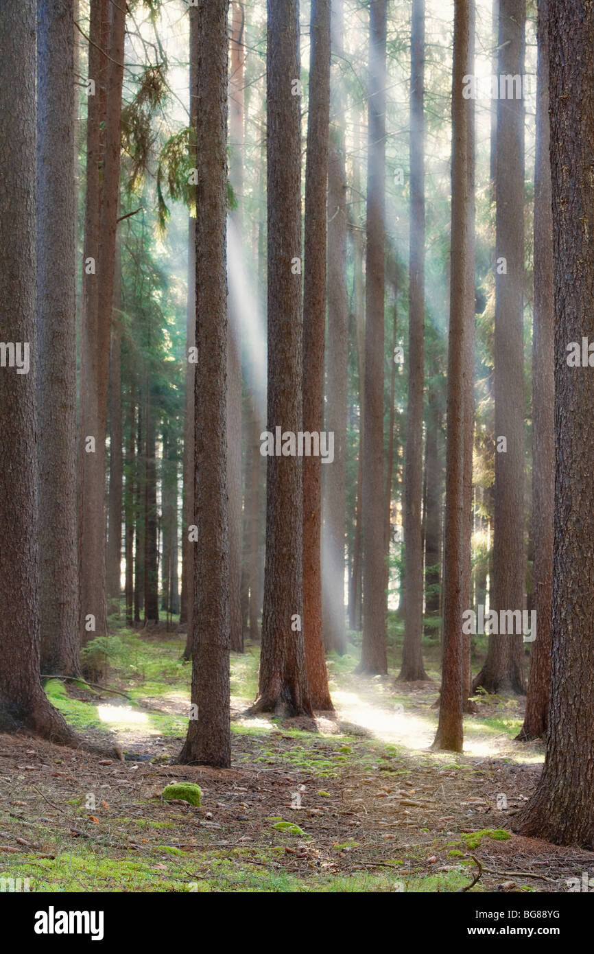 autumn forest scene with sun rays shining through branches - Stock Image