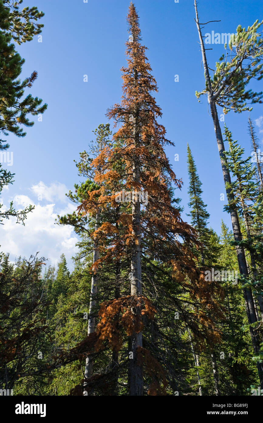 Reddened conifer tree showing signs of Mountain Pine Beetle infestation. Yellowstone National Park, Wyoming, USA. - Stock Image