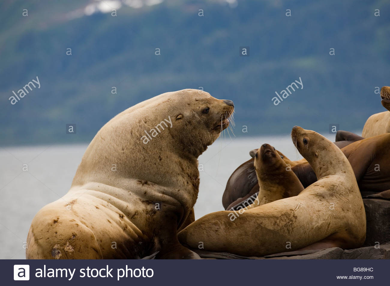 endangered Stellar Sea lions lounge on rocks at a haul-out in Prince William Sound - Stock Image