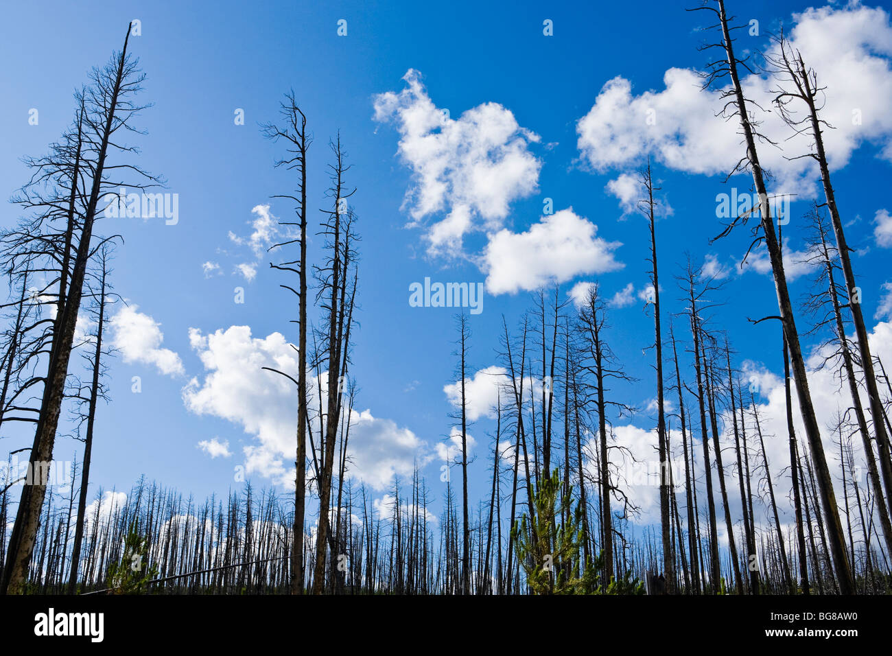 Scorched trees and new growth after a forest fire in Yellowstone National Park, Wyoming, USA. - Stock Image