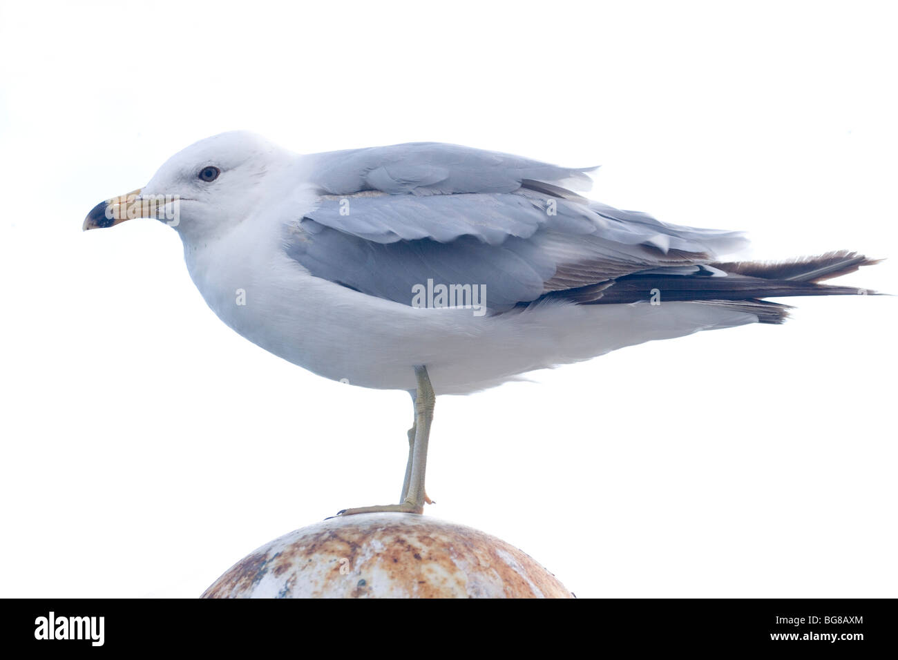 Ring-billed Gull (Larus delawarensis). Crouching, offering minimum body surface to prevailing wind. Vagrant to UK - Stock Image