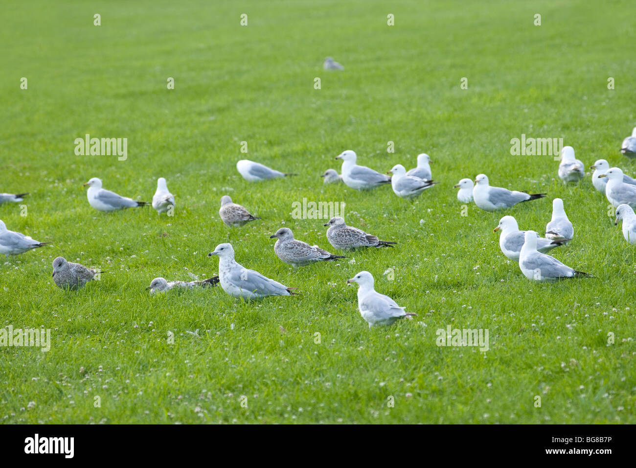 Ring-billed Gulls (Larus delawarensis). Mixed age flock. Associating company, loafing. Facing into prevailing breeze. - Stock Image