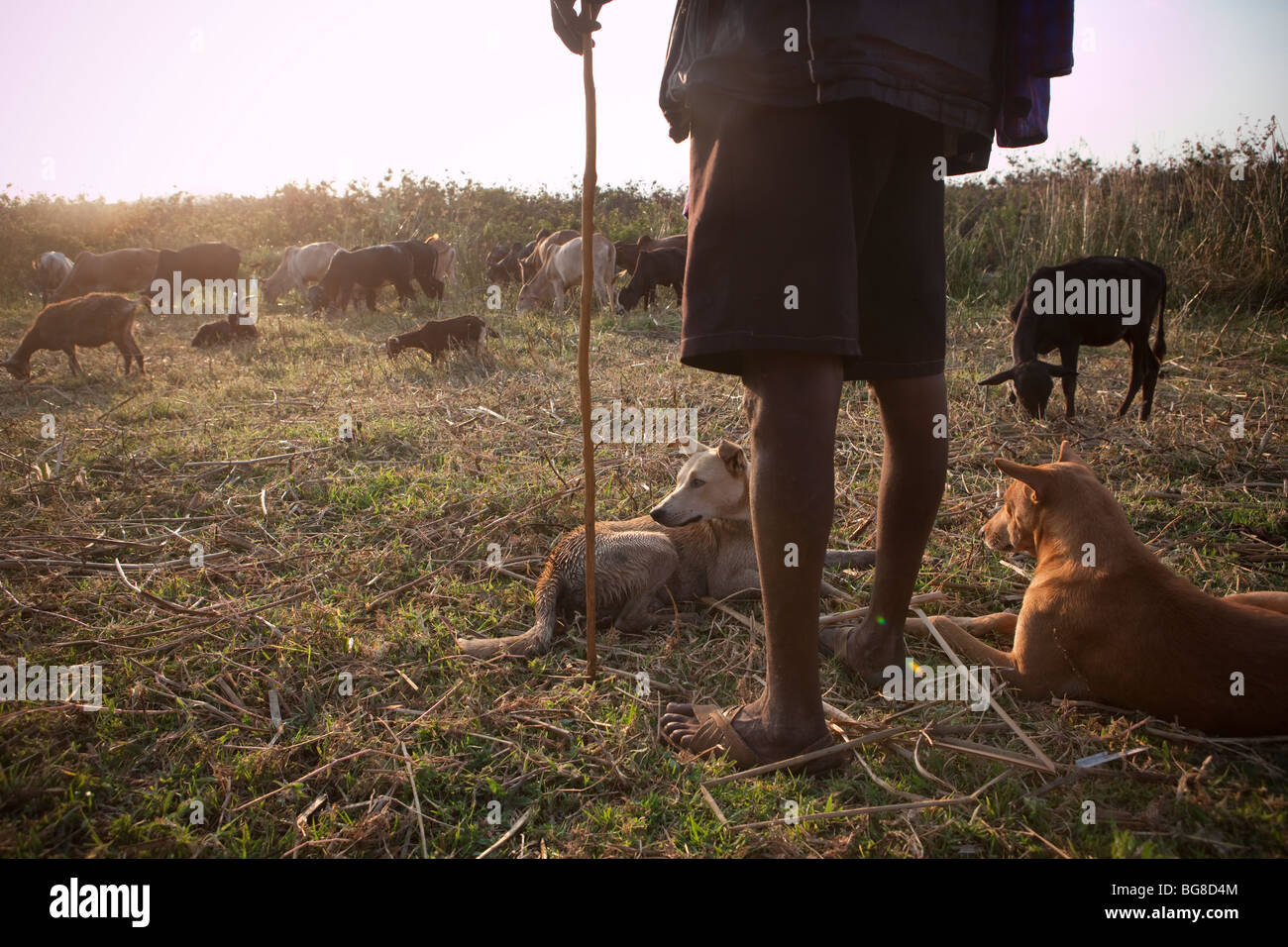 A shepherd watches over his herd of cows and goats on the shores of Lake Babati, Manyara Region, Tanzania. - Stock Image