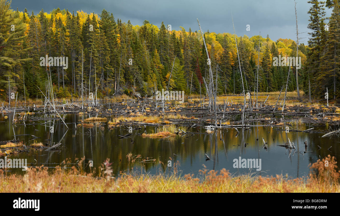 Drowned trees fall nature wetlands scenery. Algonquin Provincial Park, Ontario, Canada. - Stock Image