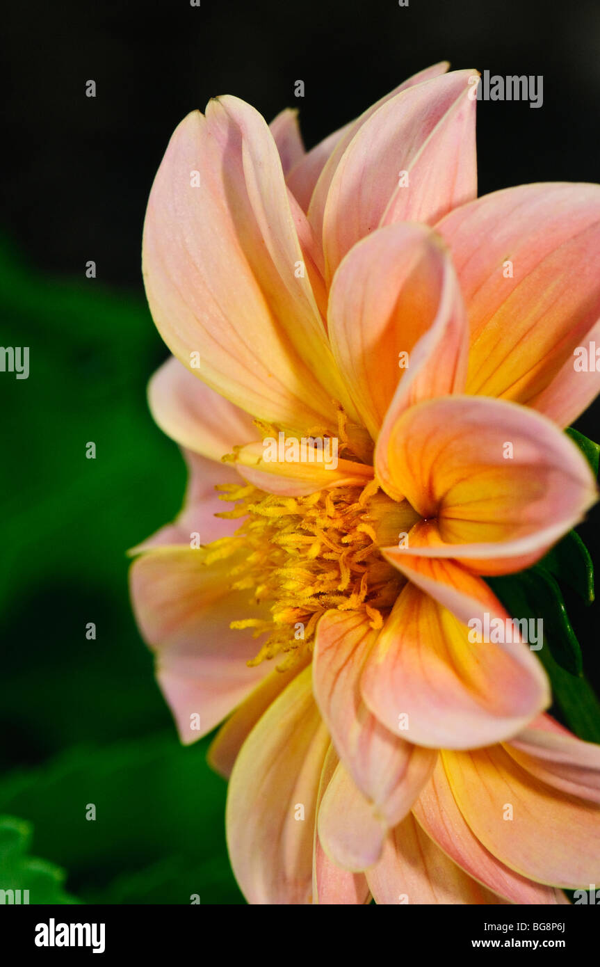Side View Of Pink And Yellow Dahlia Flower Stock Photo 27237914 Alamy