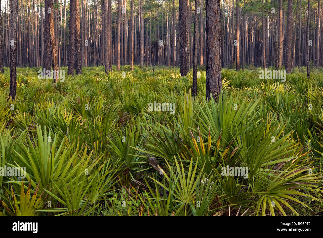 Forest with pine trees (pinus palustris) and saw palmetto plants (serenoa repens), Okefenokee National Wildlife - Stock Image
