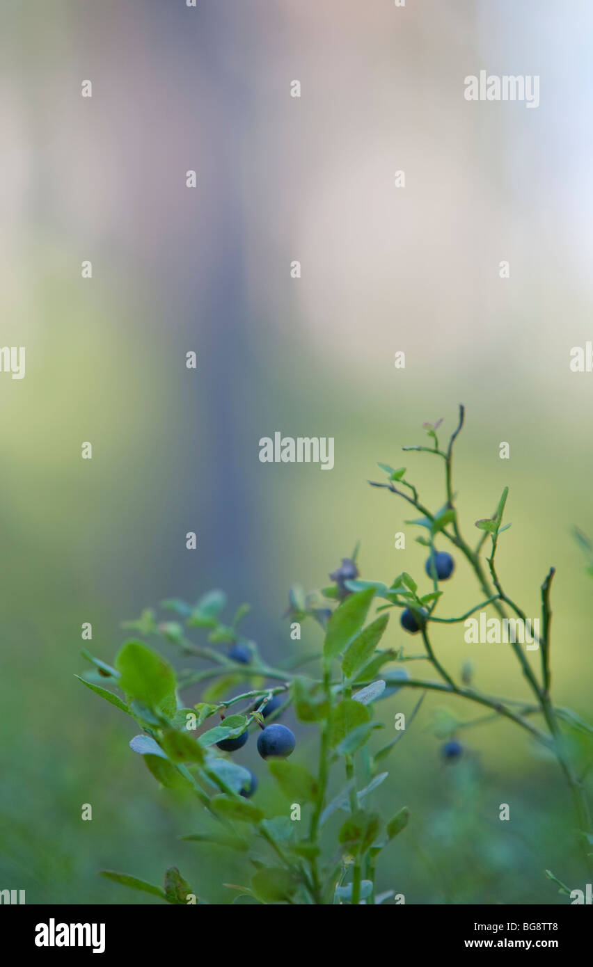 Lowbush blueberry branch with ripe blueberries ( Vaccinium myrtillus ) - Stock Image