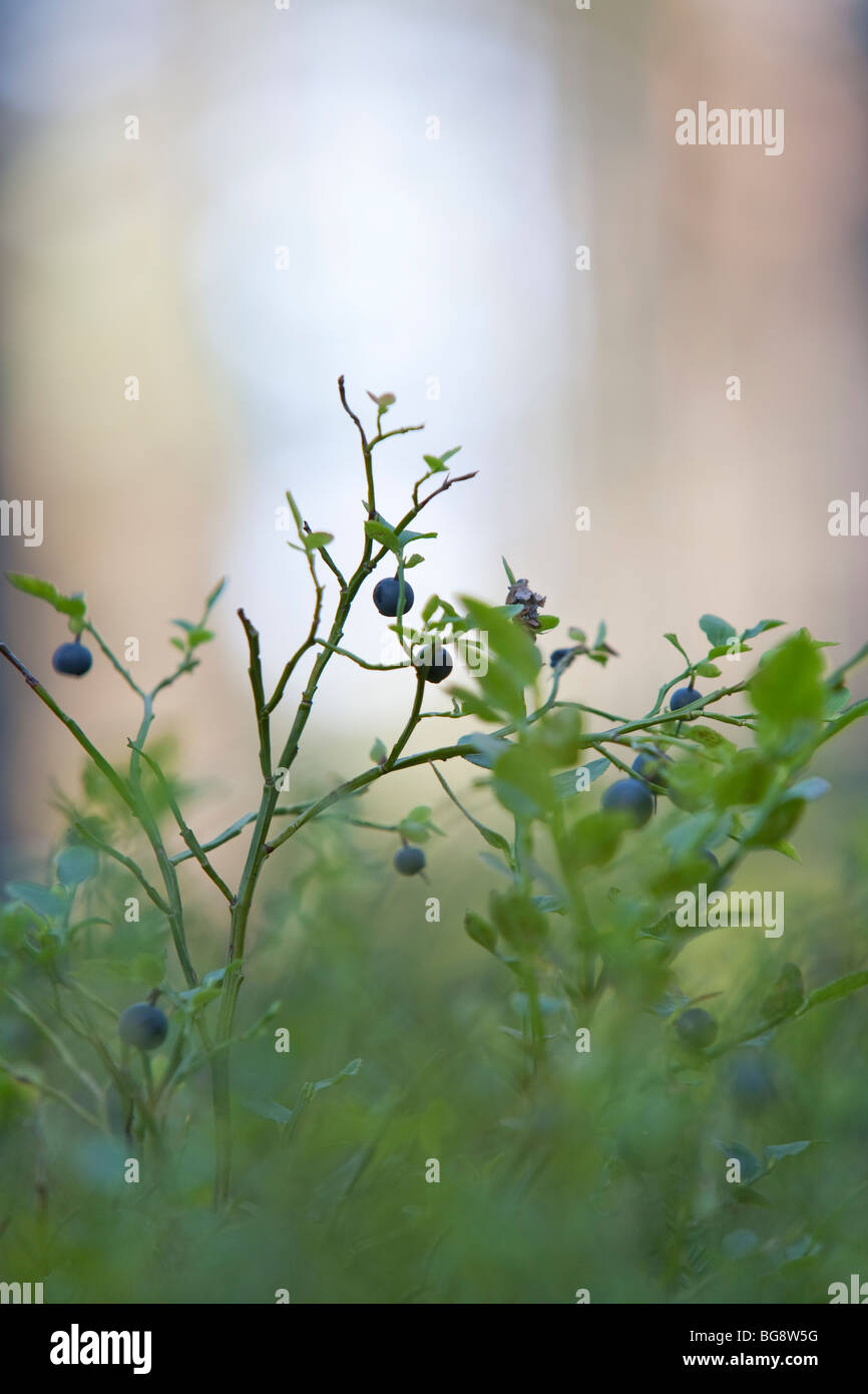 Blueberry branch with ripe blueberries ( Vaccinium myrtillus ) - Stock Image
