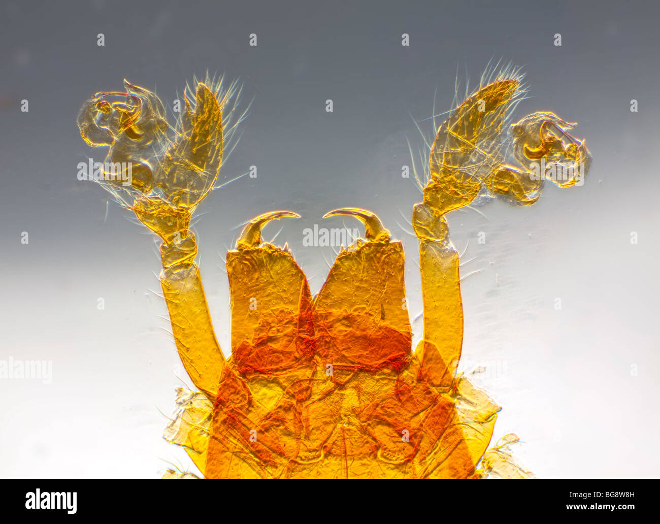 Photomicrograph of spider mouthparts - Stock Image