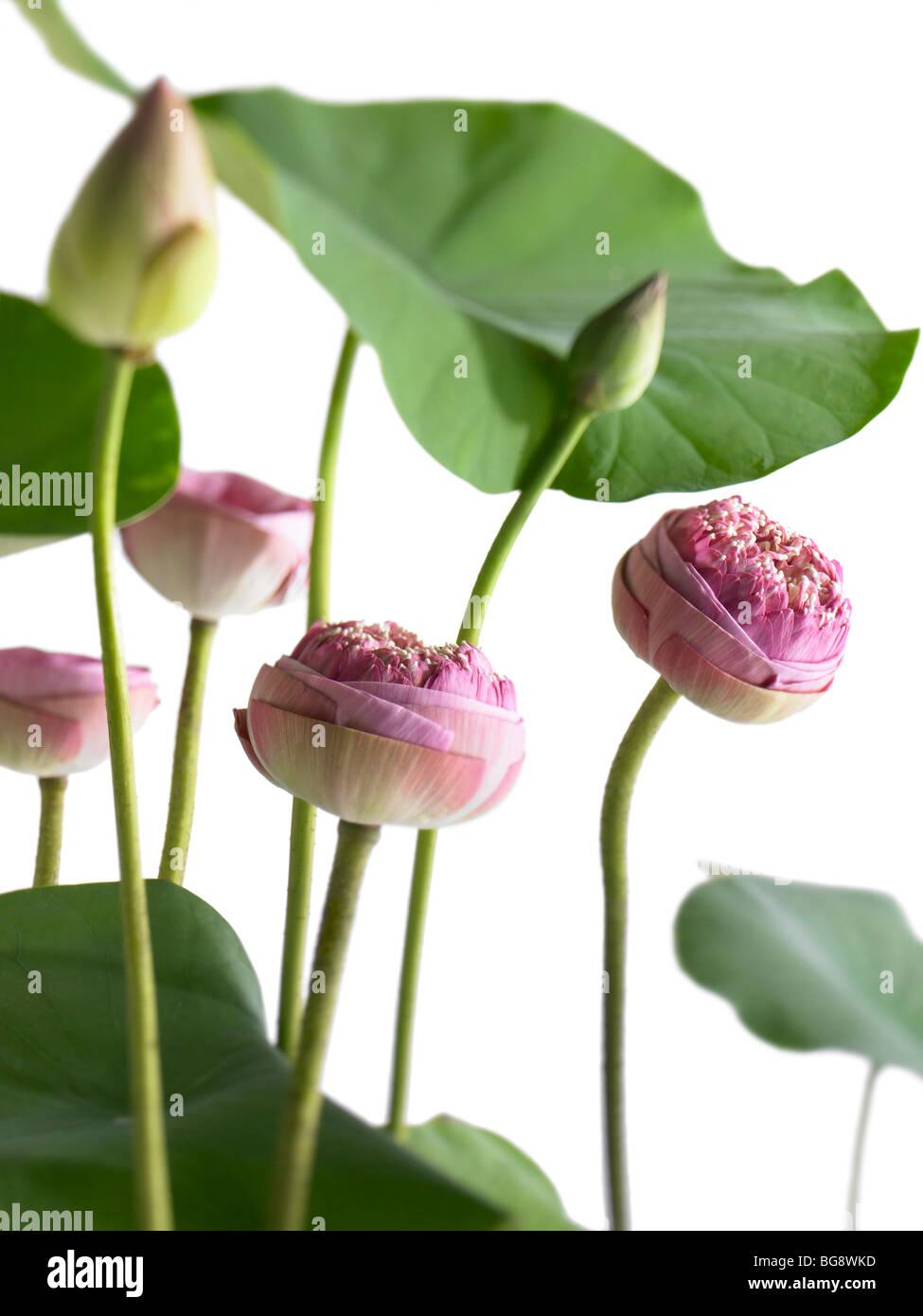 Lotus flower buds stock photos lotus flower buds stock images alamy pink lotus flower buds and leaves stock image mightylinksfo