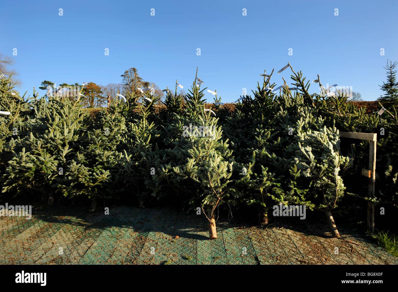 Real Christmas Trees Bristol