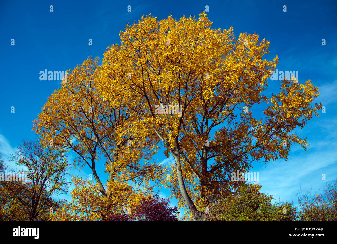 Autumn leaves against a blue sky Oxfordshire England UK - Stock Image