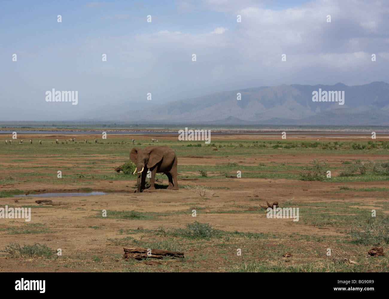 Elephant in Lake Manyara National Park, Tanzania, Africa - Stock Image